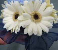Gerbera bouquet with navy organza ribbon collar